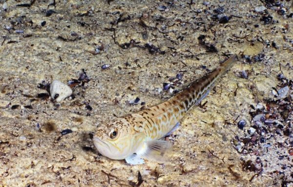 114 people stung by weaver fish on Jersey's beaches in 2019 – Jersey Evening Post