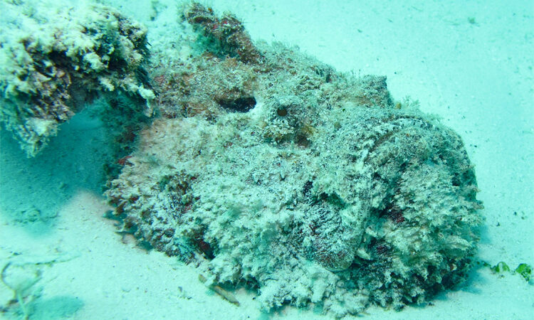 How to treat a stonefish sting – SurferToday