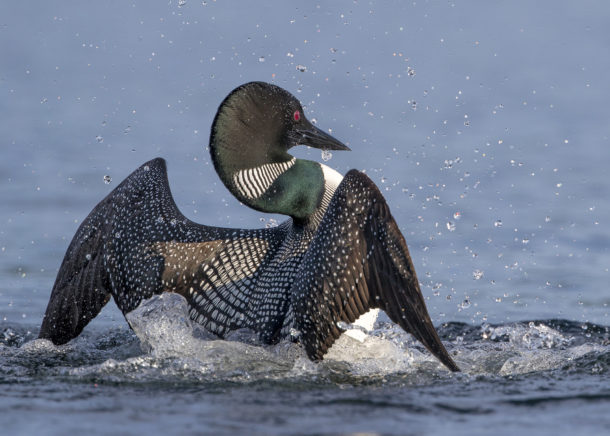 Loon population rising, but not quickly, in both Vermont and New Hampshire – vtdigger.org