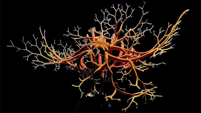 UO student's curiosity catches basket stars breathing – Mirage News